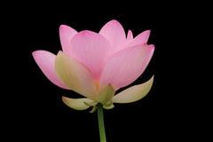 Roze lotusbloem op zwarte Stock Foto's