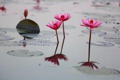Roze lotusbloem in pool Stock Fotografie