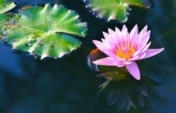 Roze lotusbloem Roze lotusbloembloesems of waterleliebloemen die op vijver bloeien Stock Foto's