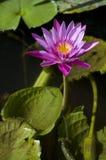 Roze lotusbloem in Thailand Stock Afbeelding