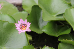 Roze lotusbloem in vijver Royalty-vrije Stock Afbeeldingen
