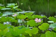 Roze lotusbloem in vijver stock afbeeldingen