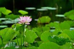 Roze lotusbloem in vijver royalty-vrije stock fotografie