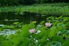 Roze lotusbloem in vijver royalty-vrije stock afbeelding