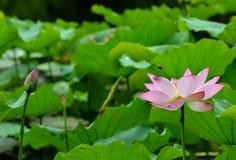 Roze lotusbloem in vijver stock foto