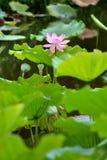 Roze lotusbloem in vijver stock fotografie
