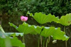 Roze lotusbloem in vijver royalty-vrije stock foto