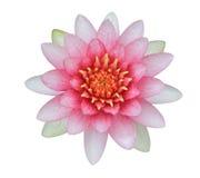 Roze lotusbloem (Waterlelie) stock afbeelding