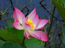 Roze lotusbloem of waterlelie stock afbeelding