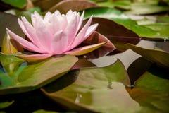 Roze lotusbloem of waterlelie die met bladeren in de vijver bloeien Stock Afbeelding