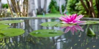 Roze lotusbloem of waterlelie in vijver Stock Afbeeldingen