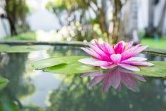 Roze lotusbloem of waterlelie in vijver Stock Foto's