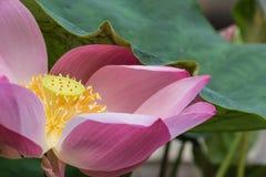 Roze lotusbloem (waterlily) Royalty-vrije Stock Fotografie