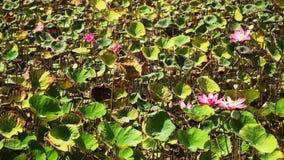 Roze lotusbloembloem stock footage