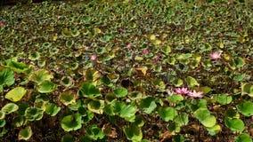 Roze lotusbloembloem stock videobeelden