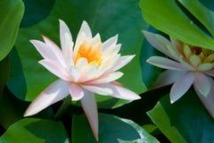 Roze lotusbloembloem Royalty-vrije Stock Afbeeldingen