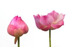 Roze lotusbloembloem. Royalty-vrije Stock Afbeeldingen