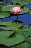 Roze lotusbloembloem Royalty-vrije Stock Fotografie