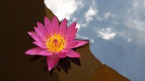 Roze lotusbloembloem royalty-vrije stock foto's