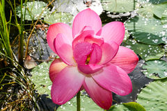 Roze lotusbloembloem Stock Afbeelding