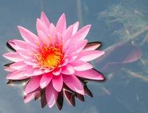 Roze lotusbloembloem Stock Afbeeldingen