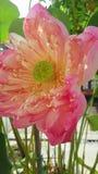 Roze lotusbloembloem Stock Fotografie