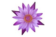 Roze lotusbloembloem Stock Foto