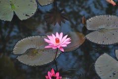 Roze lotusbloembloem bij de bloei royalty-vrije stock foto's