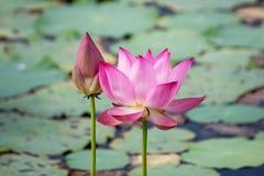roze lotusbloembloem die onder weelderige bladeren in vijver onder brigh bloeien stock foto