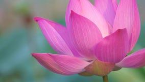 Roze lotusbloembloem die in wind blazen stock videobeelden