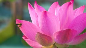 Roze lotusbloembloem die in wind blazen stock footage