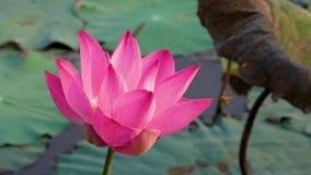 Roze lotusbloembloem die in wind blazen stock video