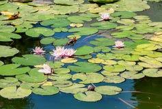 Roze lotusbloembloem en Lotus-bloeminstallaties Royalty-vrije Stock Afbeeldingen