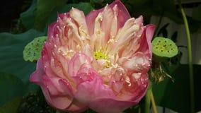 Roze lotusbloembloem en seedpods stock fotografie