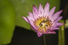 Roze lotusbloembloem en vele bijen binnen dicht omhooggaand beeld Stock Afbeelding