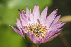Roze lotusbloembloem en vele bijen binnen dicht omhooggaand beeld Royalty-vrije Stock Afbeeldingen