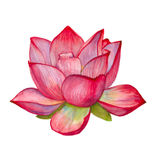 Roze lotusbloembloem Geïsoleerde De illustratie van de waterverf Stock Afbeeldingen