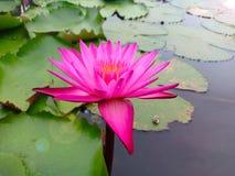 Roze lotusbloembloem in meer stock afbeelding