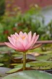 Roze lotusbloembloem met het blad Stock Foto