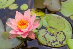 Roze lotusbloembloem met het blad Stock Afbeelding