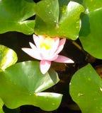 Roze lotusbloembloem op de achtergrond van groene bladeren stock afbeeldingen