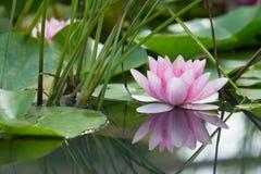Roze lotusbloembloem op een vijver stock foto's