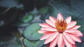 Roze lotusbloembloem op het water stock video