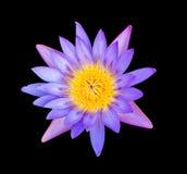 Roze lotusbloembloem op zwarte achtergrond Royalty-vrije Stock Foto
