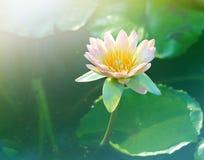 Roze lotusbloembloem Roze lotusbloembloesems of van waterleliebloemen bloo Royalty-vrije Stock Afbeeldingen