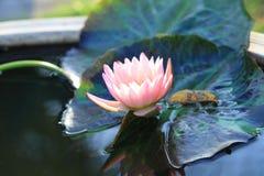 Roze lotusbloembloem Roze lotusbloembloesems of van waterleliebloemen bloo Royalty-vrije Stock Fotografie