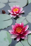 Roze lotusbloembloemen Royalty-vrije Stock Foto's