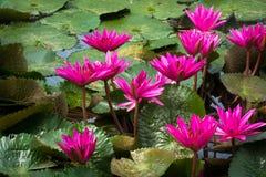Roze lotusbloembloemen Royalty-vrije Stock Afbeeldingen
