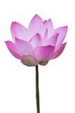 Roze lotusbloembloemen Stock Afbeeldingen