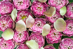 Roze lotusbloembloemen stock fotografie